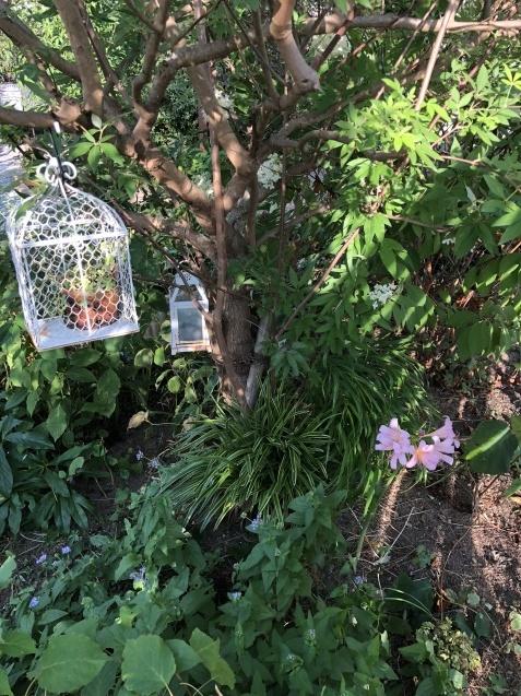 8月の庭「秋明菊、リコリス」咲きだしました_a0243064_09150302.jpg