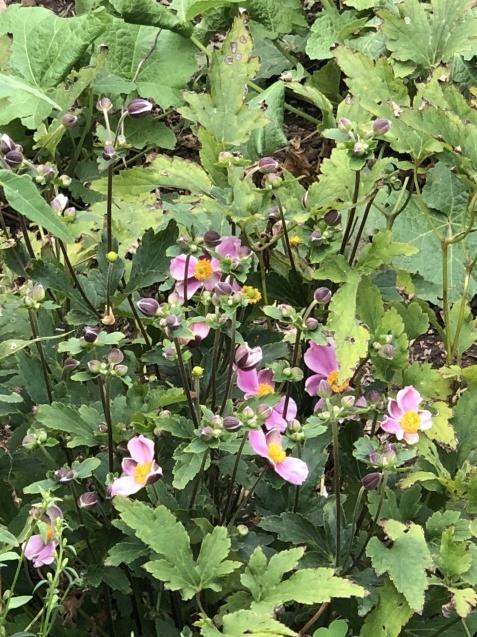 8月の庭「秋明菊、リコリス」咲きだしました_a0243064_09191491.jpg