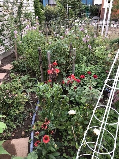 8月の庭「秋明菊、リコリス」咲きだしました_a0243064_09264150.jpg