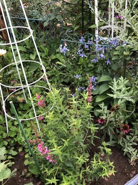 8月の庭「秋明菊、リコリス」咲きだしました_a0243064_09325786.jpg