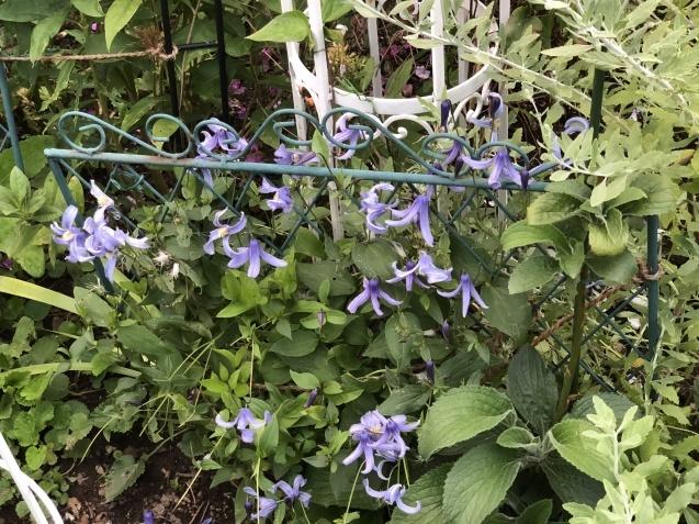 8月の庭「秋明菊、リコリス」咲きだしました_a0243064_09374788.jpg