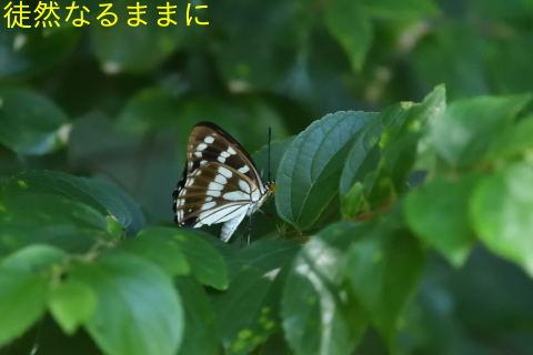 M Fでゴマダラチョウ初見_d0285540_21095088.jpg