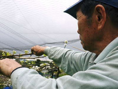 熊本梨 平成30年度の『豊水(ほうすい)』は8月24日(金)より出荷スタート!! 初回発送分はすでに完売です!_a0254656_18365949.jpg