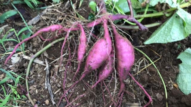 パープルスイートロード(紫サツマイモ)試掘りも時期尚早8・22_c0014967_20171254.jpg