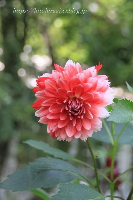 BARAKURA ENGLISH GARDEN ②庭園の花々_f0374092_20080287.jpg