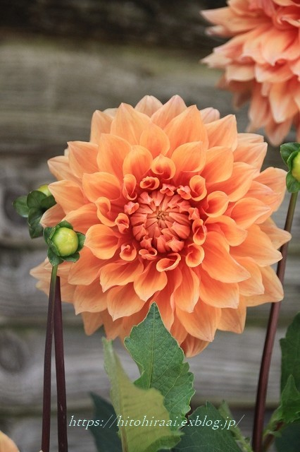 BARAKURA ENGLISH GARDEN ②庭園の花々_f0374092_20141453.jpg