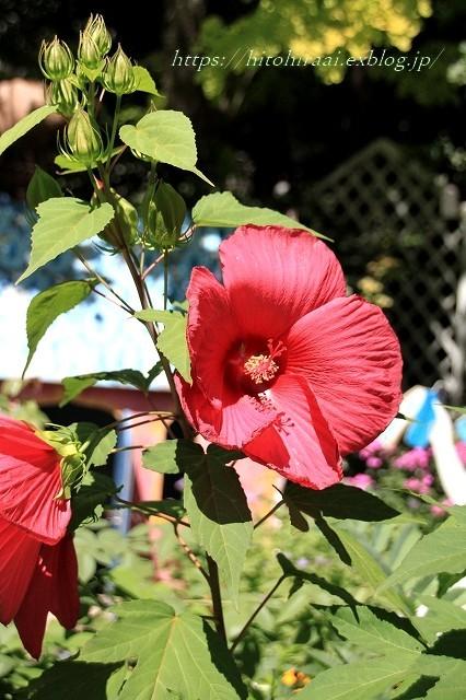 BARAKURA ENGLISH GARDEN ②庭園の花々_f0374092_20553509.jpg