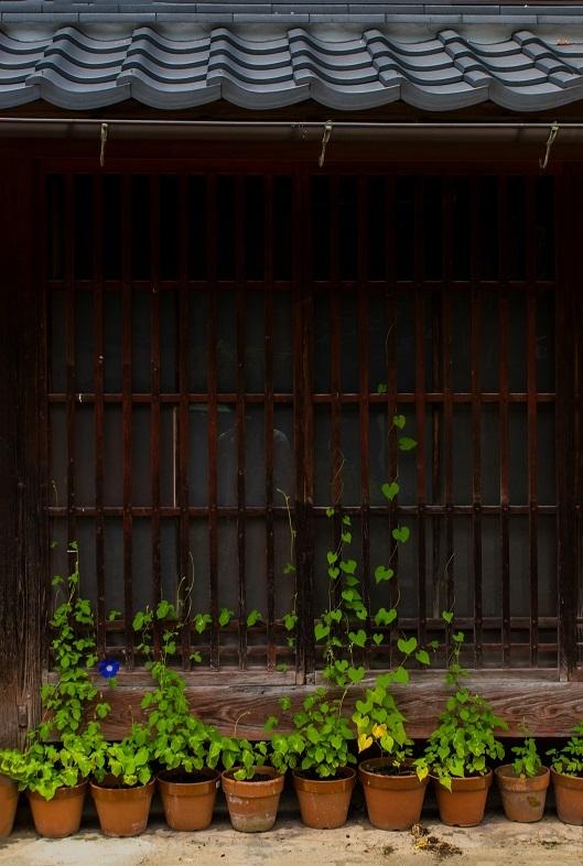 醒ヶ井宿 地蔵川に咲く梅花藻_e0363038_14182711.jpg