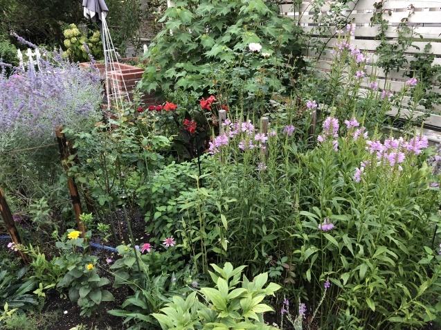 8月の庭「キャットミントの2番花」_a0243064_10155214.jpg
