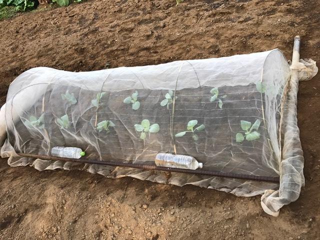 農協の直売所で購入したキャベツの苗植え付け8・23_c0014967_08432059.jpg