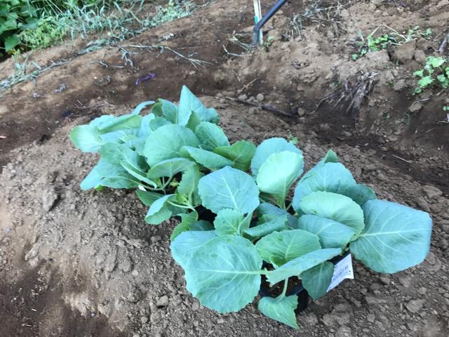 農協の直売所で購入したキャベツの苗植え付け8・23_c0014967_8293636.jpg