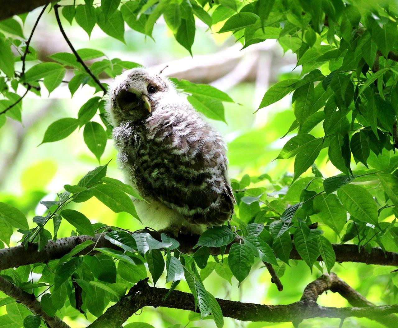 春先に出会ったフクロウを(最終)・・・_c0213607_18245562.jpg