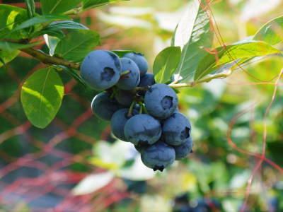 フレッシュブルーベリーが今まさに最旬!無農薬栽培の朝採りブルーベリーを即日発送でお届けします!_a0254656_16591079.jpg