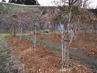 フレッシュブルーベリーが今まさに最旬!無農薬栽培の朝採りブルーベリーを即日発送でお届けします!_a0254656_17162379.jpg