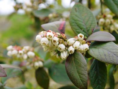 フレッシュブルーベリーが今まさに最旬!無農薬栽培の朝採りブルーベリーを即日発送でお届けします!_a0254656_17180213.jpg