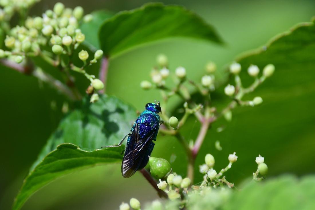 瑠璃色のハチ オオセイボウ オオルリ_f0053272_21060075.jpg