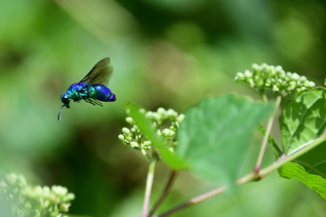 瑠璃色のハチ オオセイボウ オオルリ_f0053272_21060724.jpg