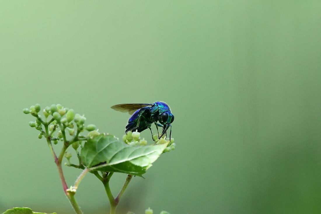 瑠璃色のハチ オオセイボウ オオルリ_f0053272_21070899.jpg