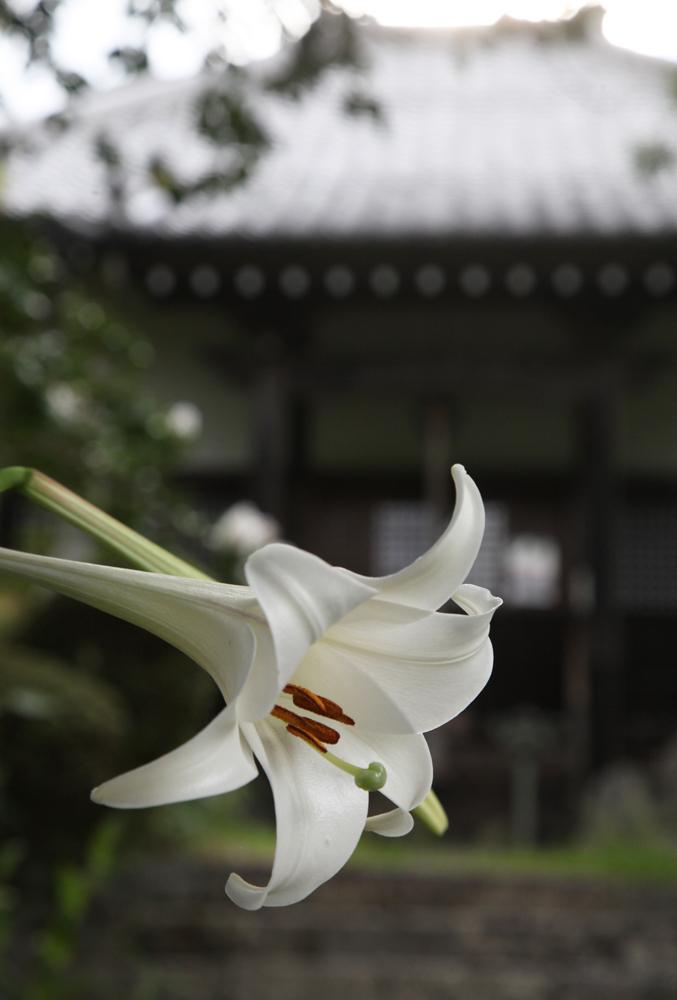 御所市 橋本院 タカサゴユリ_c0108146_01340244.jpg