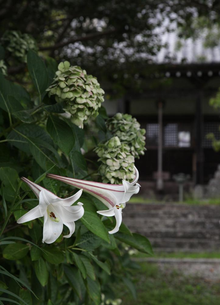 御所市 橋本院 タカサゴユリ_c0108146_01341457.jpg