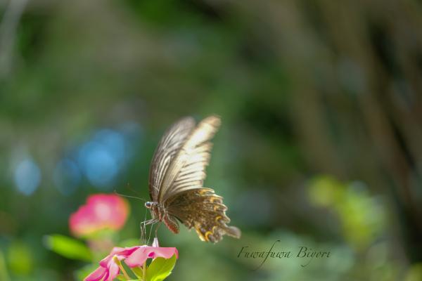 公園で遊ぶ蝶やミツバチ **_d0344864_22214454.jpg