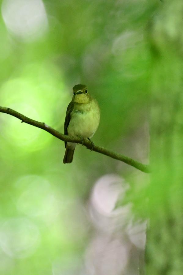 渡りの小鳥 キビタキ オオルリ_f0053272_14345006.jpg