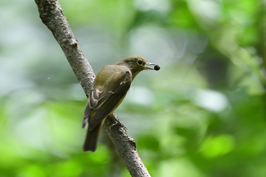 渡りの小鳥 キビタキ オオルリ_f0053272_14370043.jpg