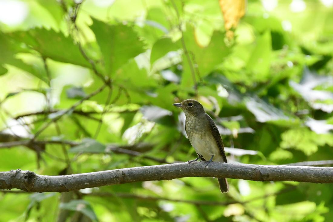 渡りの小鳥 キビタキ オオルリ_f0053272_14370468.jpg