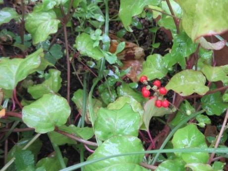 ジュズサンゴの赤い実・仙人草の香り_a0203003_13143291.jpg