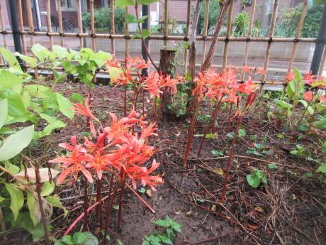 ジュズサンゴの赤い実・仙人草の香り_a0203003_13145349.jpg
