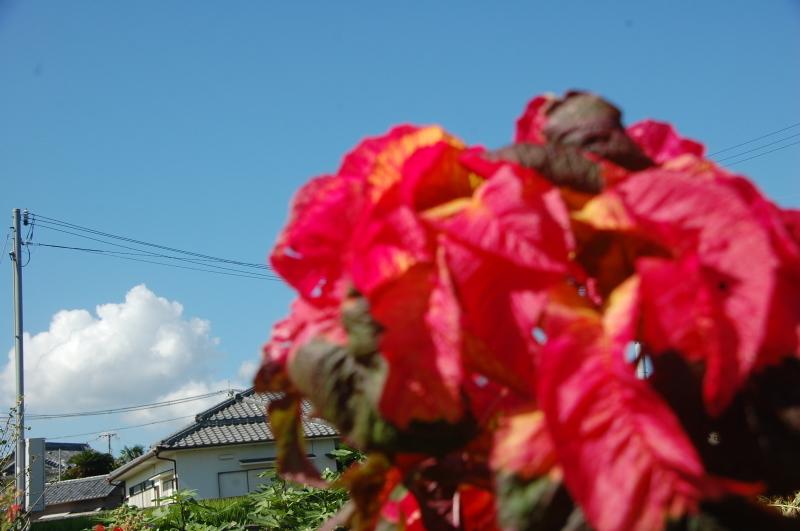 台風被害の片付け・・・我が家の畑_c0108460_15461201.jpg