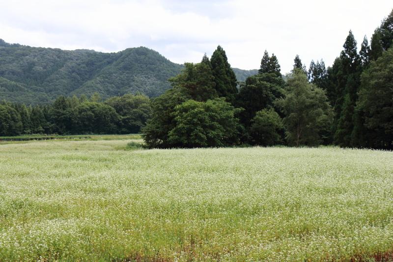西和賀町沢内の蕎麦の花 1_e0165983_10503843.jpg