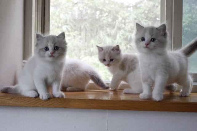 オーナー様募集中の仔猫達 レンちゃん_a0285571_18384742.jpg