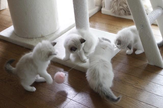 オーナー様募集中の仔猫達 レンちゃん_a0285571_18385358.jpg