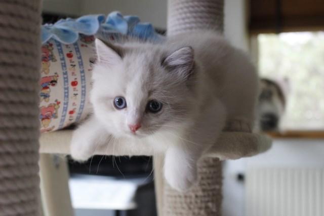 オーナー様募集中の仔猫達 レンちゃん_a0285571_18385831.jpg