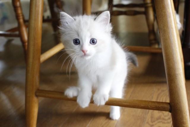 オーナー様募集中の仔猫達 レンちゃん_a0285571_18390917.jpg