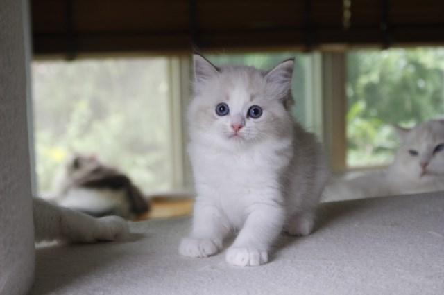 オーナー様募集中の仔猫達 レンちゃん_a0285571_18393718.jpg