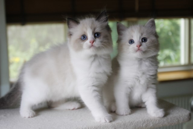 オーナー様募集中の仔猫達 レンちゃん_a0285571_18394368.jpg