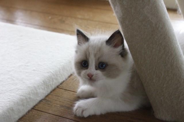 オーナー様募集中の仔猫達 レンちゃん_a0285571_18394827.jpg