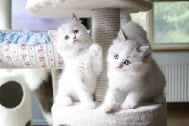 オーナー様募集中の仔猫達 レンちゃん_a0285571_18395486.jpg