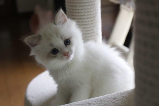 オーナー様募集中の仔猫達 レンちゃん_a0285571_18400089.jpg
