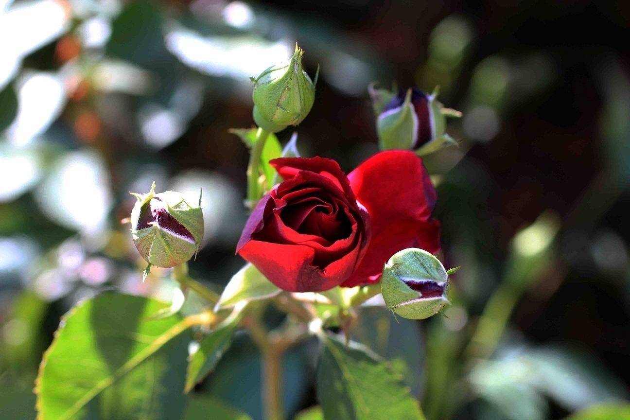 ジェラシーを燃やす薔薇たち ~オデュッセイア~_a0107574_18352293.jpg