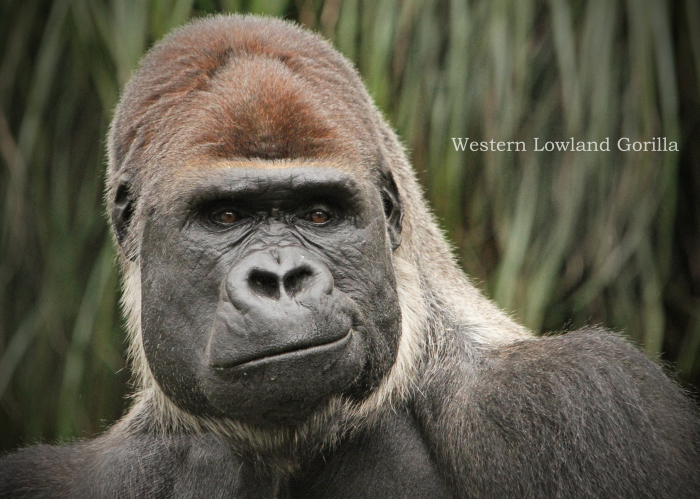 ニシゴリラ:Gorilla gorilla_b0249597_14212880.jpg