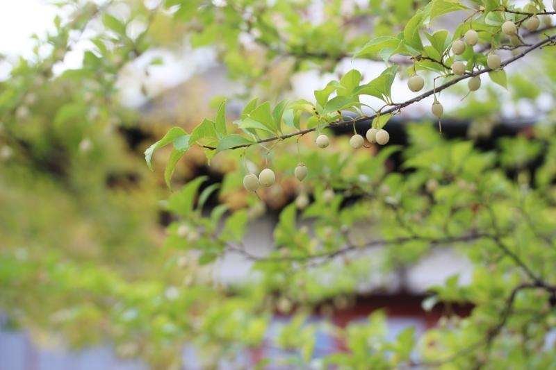 喜楽亭で楽しむ おいしい日本茶 8月_b0220318_07590944.jpg