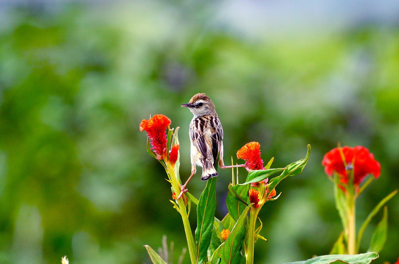 ケイトウの花とセッカ_f0215767_12222563.jpg