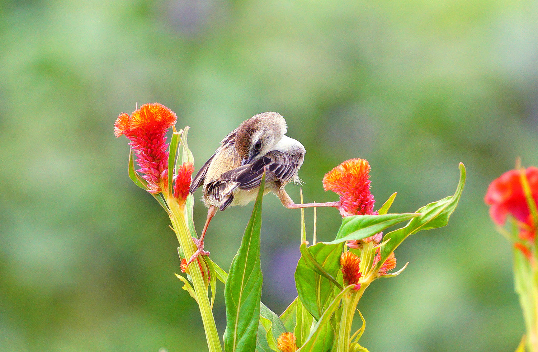 ケイトウの花とセッカ_f0215767_12225371.jpg