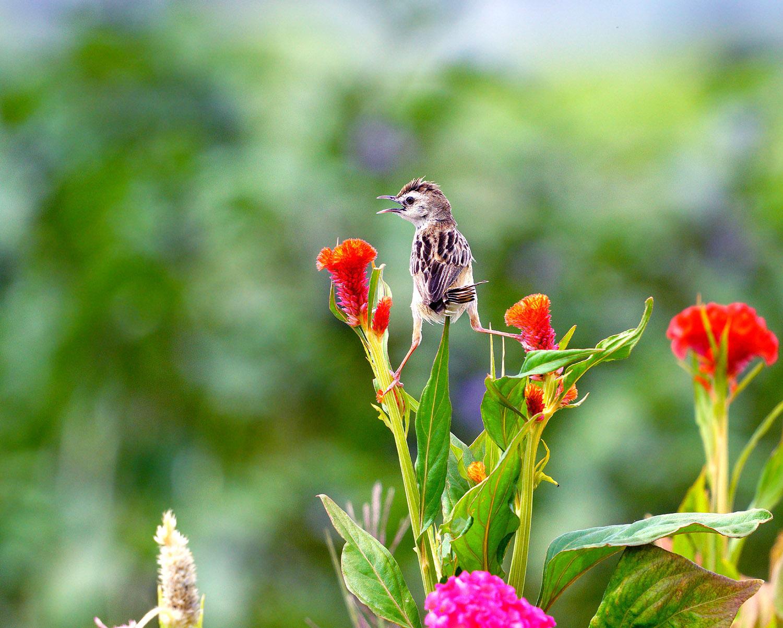 ケイトウの花とセッカ_f0215767_12363262.jpg