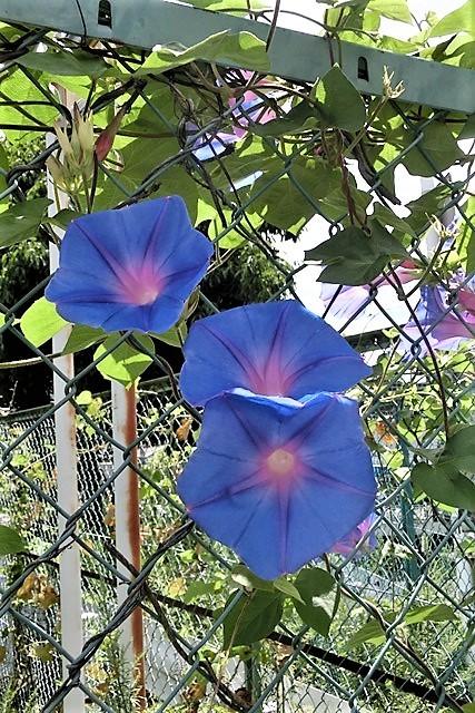 野に咲く花の美しさ、可愛さ・・・青森はベストのシーズンを迎える_d0181492_20434574.jpg