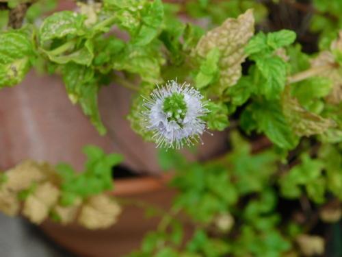 ミントの花とカラフル野菜_c0338136_11000393.jpg