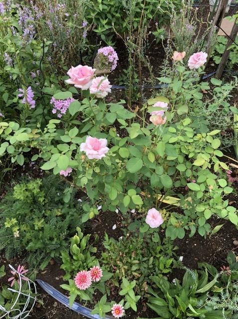8月末の庭「バラ`ラ・フランス'が綺麗に咲いています」_a0243064_11483150.jpg
